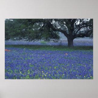 NA, Texas, Devine, Oak and blue bonnets Print