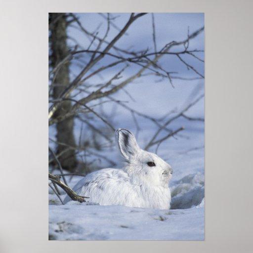 NA, USA, Alaska. Arctic National Wildlife Posters