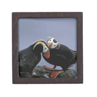 NA, USA, Alaska, Bering Sea, Pribilofs. Tufted Gift Box