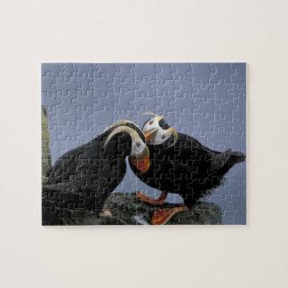 NA, USA, Alaska, Bering Sea, Pribilofs. Tufted Puzzle