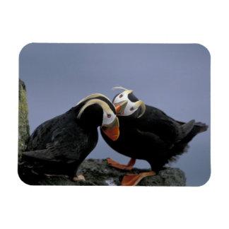 NA, USA, Alaska, Bering Sea, Pribilofs. Tufted Rectangular Photo Magnet