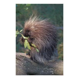 NA, USA, Alaska, Captive porcupine Photo Print