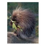 NA, USA, Alaska, Captive porcupine Post Cards