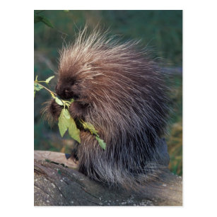 Alaska Porcupine Gifts on Zazzle