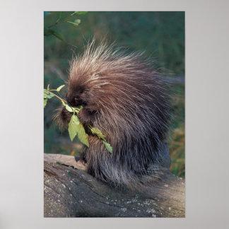 NA, USA, Alaska, Captive porcupine Poster