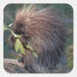 NA, USA, Alaska, Captive porcupine Square Sticker