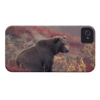 NA, USA, Alaska, Denali NP. A female grizzly iPhone 4 Case-Mate Cases