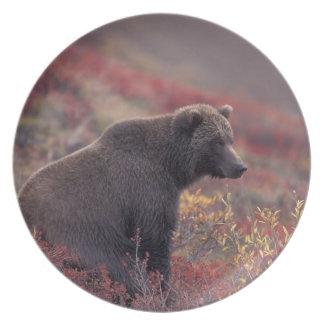NA, USA, Alaska, Denali NP. A female grizzly Party Plates
