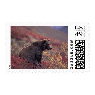NA, USA, Alaska, Denali NP. A female grizzly Postage Stamp