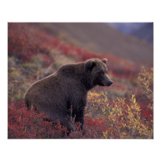 NA, USA, Alaska, Denali NP. A female grizzly Poster