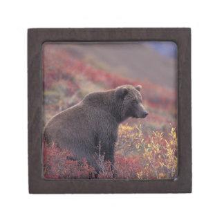 NA, USA, Alaska, Denali NP. A female grizzly Premium Gift Box