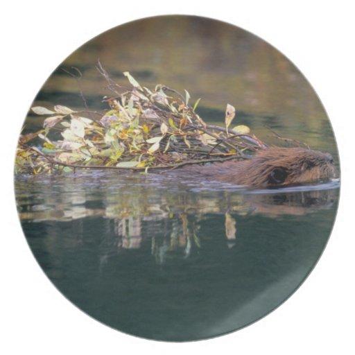 NA, USA, Alaska, Denali NP, Beaver collecting Party Plate