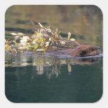 NA, USA, Alaska, Denali NP, Beaver collecting Square Sticker