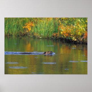 NA, USA, Alaska, Denali NP, Beaver in fall Poster