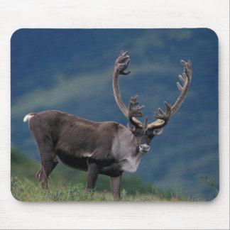 NA, USA, Alaska, Denali NP, Bull caribou 2 Mouse Pad