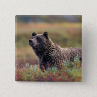 NA, USA, Alaska, Denali NP, Grizzly bear Button