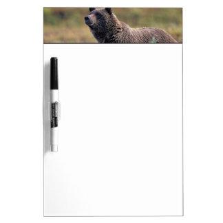 NA, USA, Alaska, Denali NP, Grizzly bear Dry Erase Board