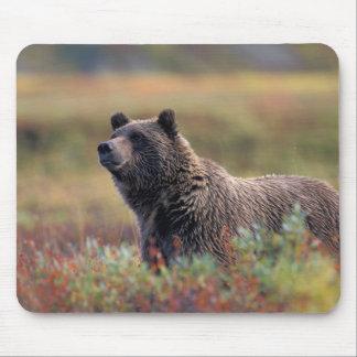 NA, USA, Alaska, Denali NP, Grizzly bear Mouse Pad