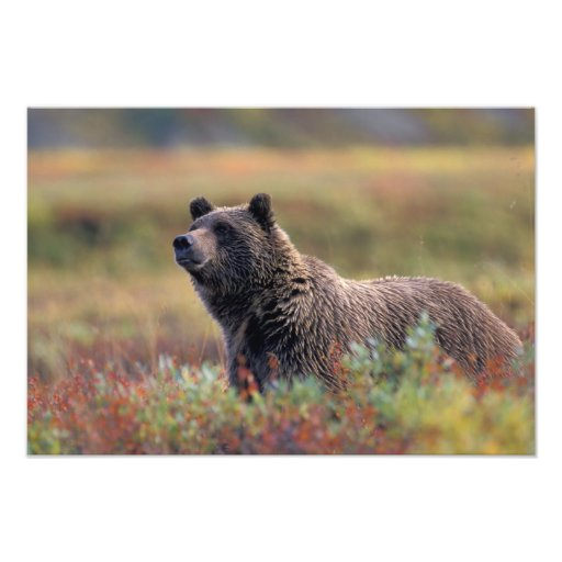 NA, USA, Alaska, Denali NP, Grizzly bear Photo