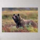 NA, USA, Alaska, Denali NP, Grizzly bear Print