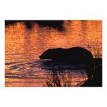 NA, USA, Alaska, Grizzly bear Photo