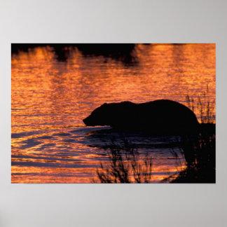 NA, USA, Alaska, Grizzly bear Poster