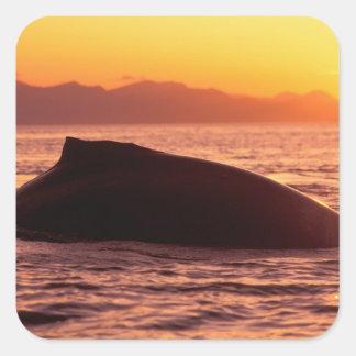 NA, USA, Alaska, Inside Passage, Humpback Square Sticker