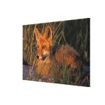 NA, USA, Alaska, Katmai NP, Vulpes vulpes red Gallery Wrap Canvas
