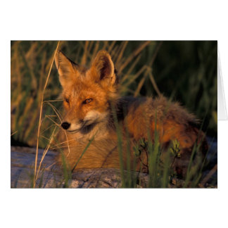 NA, USA, Alaska, Katmai NP, Vulpes vulpes red Card