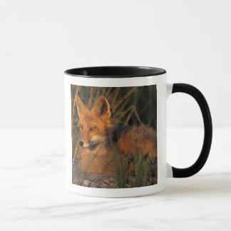 NA, USA, Alaska, Katmai NP, Vulpes vulpes red Mug