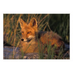 NA, USA, Alaska, Katmai NP, Vulpes vulpes red Photo