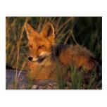 NA, USA, Alaska, Katmai NP, Vulpes vulpes red Post Cards