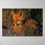 NA, USA, Alaska, Katmai NP, Vulpes vulpes red Poster