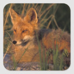 NA, USA, Alaska, Katmai NP, Vulpes vulpes red Square Sticker