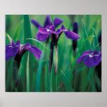 NA, USA, Alaska, Knight Island, Wild iris Print