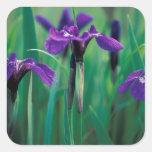 NA, USA, Alaska, Knight Island, Wild iris Square Sticker