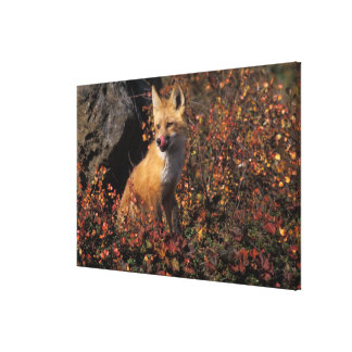 NA, USA, Alaska, red fox, Vulpes vulpes, in fall 2 Stretched Canvas Print