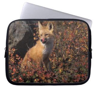 NA, USA, Alaska, red fox, Vulpes vulpes, in fall 2 Laptop Sleeve