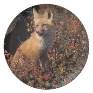 NA, USA, Alaska, red fox, Vulpes vulpes, in fall 2 Melamine Plate
