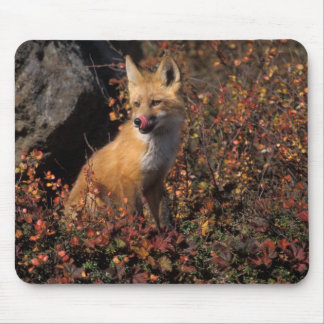 NA, USA, Alaska, red fox, Vulpes vulpes, in fall 2 Mouse Pad