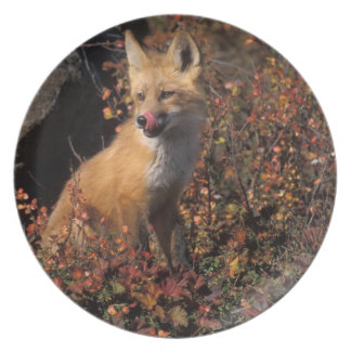 NA USA Alaska red fox Vulpes vulpes in fall 2 Party Plate
