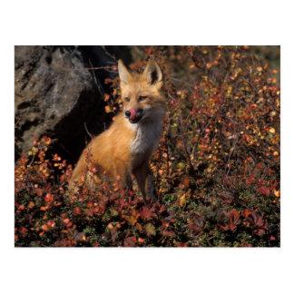 NA, USA, Alaska, red fox, Vulpes vulpes, in fall 2 Postcard