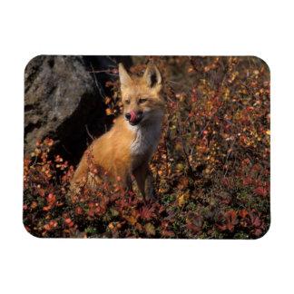 NA, USA, Alaska, red fox, Vulpes vulpes, in fall 2 Flexible Magnet