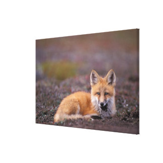 NA, USA, Alaska, red fox, Vulpes vulpes, in fall Gallery Wrapped Canvas