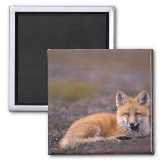 NA, USA, Alaska, red fox, Vulpes vulpes, in fall Magnet