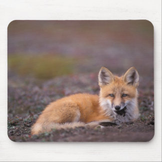 NA, USA, Alaska, red fox, Vulpes vulpes, in fall Mouse Pad