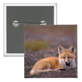 NA, USA, Alaska, red fox, Vulpes vulpes, in fall Pinback Button