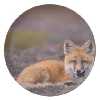 NA, USA, Alaska, red fox, Vulpes vulpes, in fall Party Plates