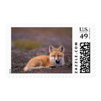 NA, USA, Alaska, red fox, Vulpes vulpes, in fall Stamp