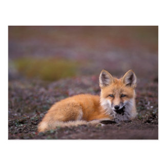 NA, USA, Alaska, red fox, Vulpes vulpes, in fall Postcard